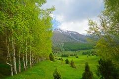 Alberi di betulla nelle montagne Fotografia Stock