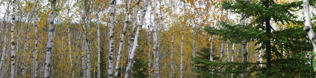 Alberi di betulla spaccati del faro della roccia Immagini Stock Libere da Diritti