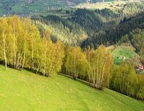 Alberi di betulla su un fianco di una montagna Fotografia Stock Libera da Diritti