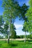 Alberi di betulla sul lato del lago fotografia stock