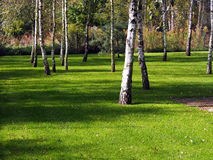 Alberi di betulla sul prato inglese nel giardino Immagini Stock Libere da Diritti