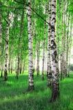 Alberi di betulla in una foresta Fotografie Stock Libere da Diritti