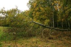 Alberi di betulle sulla foresta di autunno Fotografie Stock Libere da Diritti