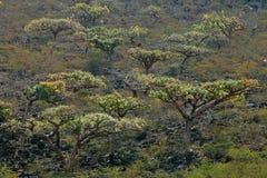 Alberi di Boswellia (albero del franchincenso) immagine stock libera da diritti
