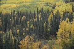 Alberi di caduta della valle dell'Alaska Matanuska Immagini Stock