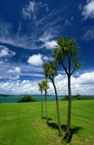 Alberi di cavolo della Nuova Zelanda immagine stock