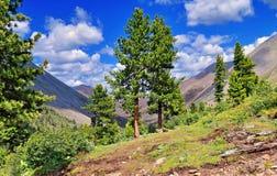 Alberi di cedro rari nelle montagne Immagine Stock