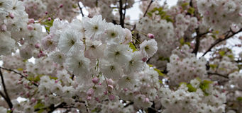Alberi di Cherry Blossom, fondo di tempo di primavera e della natura Fotografie Stock
