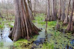 Alberi di Cypress immagine stock libera da diritti