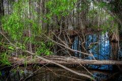 Alberi di Cypress Fotografie Stock Libere da Diritti