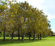 Alberi di Cypress dello stagno Fotografia Stock