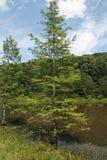 Alberi di Cypress intorno ad uno stagno Fotografie Stock