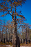 Alberi di Cypress in lago asciutto   Immagine Stock Libera da Diritti