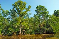 Alberi di Cypress nei rami paludosi di fiume fotografia stock libera da diritti