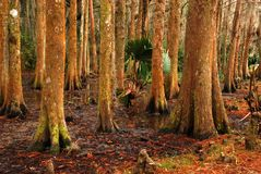 Alberi di Cypress nella palude fotografia stock