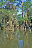 Alberi di Cypress parco di stato di Fausse Pointe nel ramo paludoso di fiume, lago, Luisiana Immagini Stock