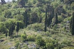 Alberi di Cypress su una collina Fotografia Stock Libera da Diritti