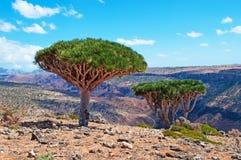 Alberi di Dragon Blood, rocce rosse, canyon in Shibham, plateau di Dixam, isola di socotra, Yemen Fotografia Stock