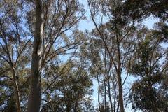 Alberi di Eucaliptus Fotografia Stock