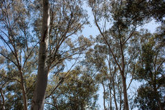 Alberi di Eucaliptus Immagini Stock Libere da Diritti