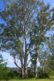 Alberi di eucalyptus australiani alti al sole fotografia stock libera da diritti
