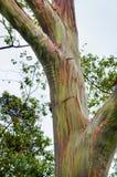 Alberi di eucalyptus dell'arcobaleno, Maui, Hawai, U.S.A. Immagine Stock