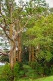 Alberi di eucalyptus dell'arcobaleno, Maui, Hawai, U.S.A. Fotografie Stock Libere da Diritti
