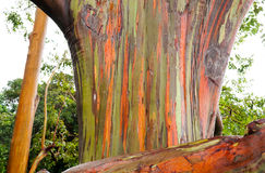 Alberi di eucalyptus dell'arcobaleno, Maui, Hawai, U.S.A. Immagini Stock Libere da Diritti