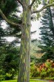 Alberi di eucalyptus dell'arcobaleno, Maui, Hawai, U.S.A. Immagine Stock Libera da Diritti