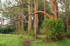 Alberi di eucalyptus dell'arcobaleno, Maui, Hawai, U.S.A. Fotografia Stock Libera da Diritti