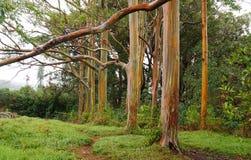 Alberi di eucalyptus dell'arcobaleno, Maui, Hawai, U.S.A. Fotografia Stock