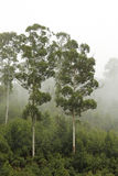 Alberi di eucalyptus nella foschia # 1 fotografie stock