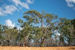 Alberi di Eukalyptus ad un parco nazionale in Australia Fotografia Stock