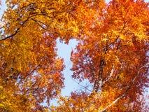 Alberi di faggio in autunno Fotografia Stock Libera da Diritti