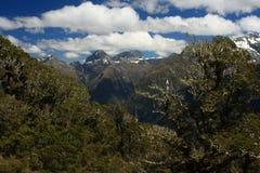 Alberi di faggio che crescono nel parco nazionale di Fiordland Immagine Stock Libera da Diritti