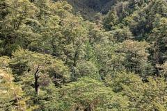 Alberi di faggio del sud che crescono nella foresta in alpi del sud Fotografie Stock Libere da Diritti