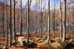 Alberi di faggio e foglie di autunno immagine stock libera da diritti