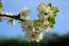 Alberi di fioritura Fotografie Stock Libere da Diritti