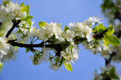 Alberi di fioritura Immagine Stock Libera da Diritti