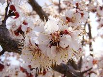 Alberi di fioritura, alberi da frutto di fioritura, molla ed alberi di albicocca di fioritura Fotografie Stock