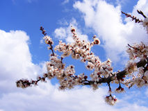 Alberi di fioritura, alberi da frutto di fioritura, molla ed alberi di albicocca di fioritura Fotografia Stock