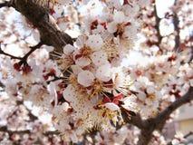 Alberi di fioritura, alberi da frutto di fioritura, molla ed alberi di albicocca di fioritura Immagine Stock