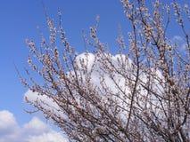 Alberi di fioritura, alberi da frutto di fioritura, molla ed alberi di albicocca di fioritura Fotografie Stock Libere da Diritti