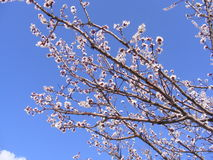 Alberi di fioritura, alberi da frutto di fioritura, molla ed alberi di albicocca di fioritura Immagine Stock Libera da Diritti