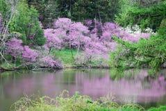 Alberi di fioritura del redbud accanto al lago Marmo con le riflessioni Fotografia Stock