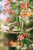 Alberi di fioritura dell'oleandro nel Montenegro, il mare adriatico e Fotografie Stock