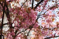 Alberi di fioritura di sakura fotografie stock