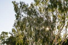 Alberi di gomma australiani Fotografia Stock