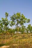 Alberi di gomma ed ananas nella stessa azienda agricola Immagine Stock
