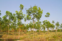 Alberi di gomma ed ananas nella stessa azienda agricola Immagini Stock